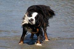 Bernese Mountaindog que agita fora da água Imagens de Stock Royalty Free