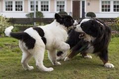 Bernese Mountaindog que joga com o filhote de cachorro de Landseer ECT Foto de Stock