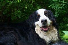 Bernese Mountaindog que sorri à câmera Foto de Stock Royalty Free