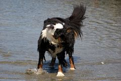 Bernese Mountaindog Shaking off Water. A male bernese mountaindog trying to dry up after wading out in the ocean Stock Photo