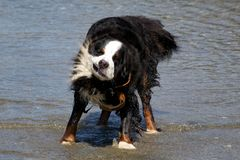 Bernese Mountaindog Shaking off Water. A male bernese mountaindog trying to dry up after wading out in the ocean Royalty Free Stock Images