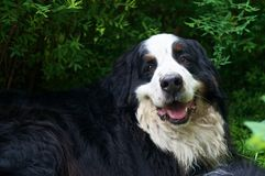 Bernese Mountaindog smiling to the camera. An adult male Bernese Mountaindog relaxing on a green lawn with a happy smile on his face Royalty Free Stock Photo