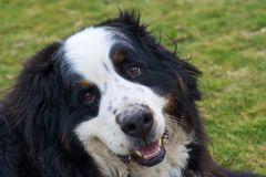 Bernese Mountaindog smiling to the camera. An adult male Bernese Mountaindog relaxing on a green lawn with a happy smile on his face Stock Photos