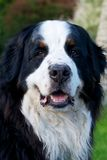 Bernese Mountaindog smiling to the camera Royalty Free Stock Photos