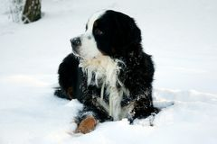 Bernese Mountaindog in the Snow. An adult male bernese mountain dog enjoying the snow Royalty Free Stock Photo