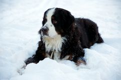 Bernese Mountaindog in the Snow. A young male bernese mountain dog enjoying the snow Royalty Free Stock Photo