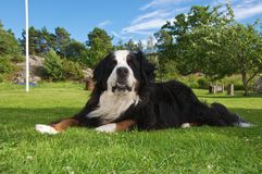 Bernese Mountaindog in a typical swedish yard. An adult male Bernese Mountaindog relaxing on a green lawn in a typical swedish setting Stock Image