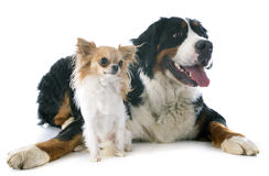 Bernese moutain dog and chihuahua Stock Photos