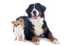 Bernese moutain dog and chihuahua. Portrait of a purebred bernese mountain dog and chihuahua in front of white background Royalty Free Stock Photo