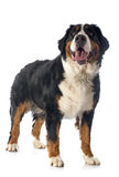 Bernese moutain dog Royalty Free Stock Photos