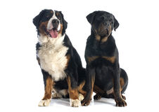 Bernese moutain dog and rottweiler Stock Images