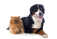 Bernese moutain dog and spitz Stock Photography