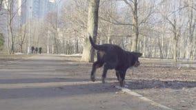 Bernese pasterskiego psa szczeniaki biega w parku zbiory