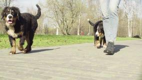 Bernese pasterskiego psa szczeniaki na drodze w parku zbiory