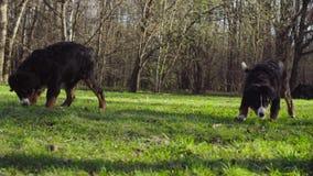 Bernese pasterskiego psa szczeniaki na trawie w parku zbiory