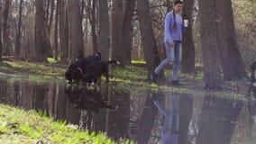 Bernese pasterskiego psa szczeniaki pije od kałuży zdjęcie wideo