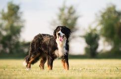 bernese psi halny portret zdjęcie stock