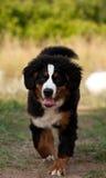 bernese psia góra fotografia stock