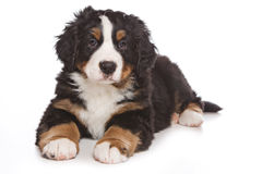 Bernese puppy Stock Photos