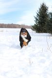 Bernese running in snow Stock Photography