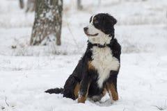 Bernese-Schäfer, der auf dem Schnee sitzt stockfoto