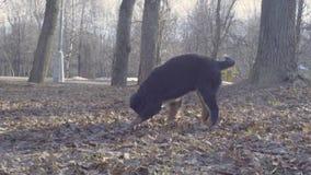 Bernese-Schäferhundewelpe, der mit einem Stock spielt stock footage