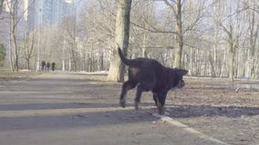 Bernese-Schäferhundewelpen, die in den Park laufen stock footage