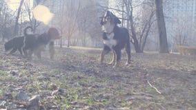 Bernese-Schäferhundewelpen, die mit einem Stock spielen stock video footage