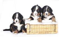 Bernese sennenhund小狗 免版税库存照片