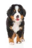 bernese sennenhund щенка Стоковое Изображение