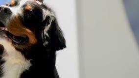 Bernese Sennenhund stock video