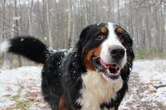 Bernese Sennenhund Den bästa hunden för familjen Royaltyfri Fotografi