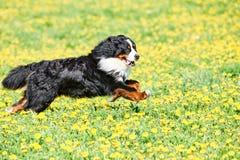 Bernese Sennenhund fullblods- herdehund i fält fotografering för bildbyråer