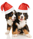 Bernese sennenhund puppies Royalty Free Stock Photo