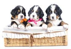 Bernese sennenhund puppies Stock Photos