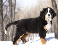 Bernese sennenhund puppy Royalty Free Stock Photography