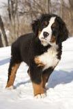 Bernese sennenhund puppy Royalty Free Stock Image