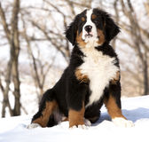 Bernese sennenhund puppy Stock Images