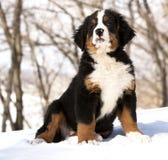 Bernese sennenhund puppy Stock Images