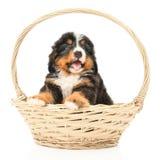 Bernese sennenhund puppy Stock Photo