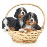 Bernese sennenhund puppy Royalty Free Stock Photography