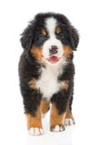 Bernese sennenhund puppy Stock Image