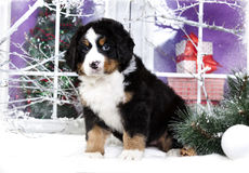 bernese sennenhund puppy  in winter decor Stock Photography