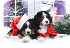 bernese sennenhund puppy  in winter decor Stock Image