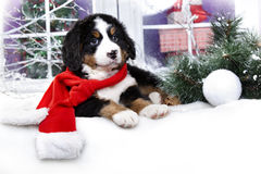 Bernese sennenhund puppy  in winter decor Stock Photo