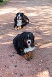 Bernese Shepherd in the nature, portrait royalty free stock photography