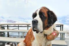 Bernhardiner-Hund Lizenzfreie Stockbilder
