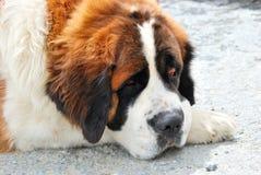 Bernhardiner-Hund Stockfotos