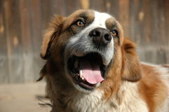 Bernhardiner-Hund Stockfoto