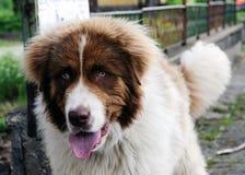 Bernhardiner-Hund Lizenzfreies Stockfoto